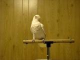 Попугай двигается под музыку