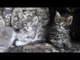 Котята мейн-кун 1 мес 1 нед